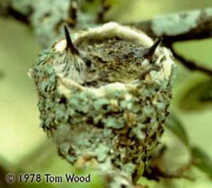 Black-chinned Hummingbird nestlings