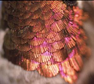 Anna's Hummingbird gorget showing wear